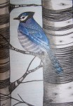 Postcard - Blue Jay among the birches
