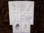 Seashell Note Cards - Blank Pkg 8