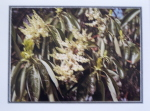 Note Card - Arbutus Flowers - Glossy Photo