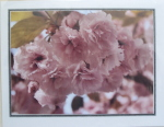 Note Card - Cherry Blossoms - Glossy Photo