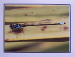 Note Card - Dragonfly At Rest - Glossy Photo