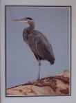 Note Card - Heron on Log - Glossy Photo