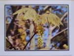 Note Card - Maple Flowers - Glossy Photo