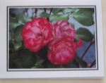 Note Card - Magenta Roses - Glossy Photo