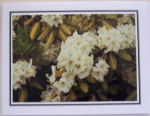 Note Card - Rhodo Purity - Glossy Photo